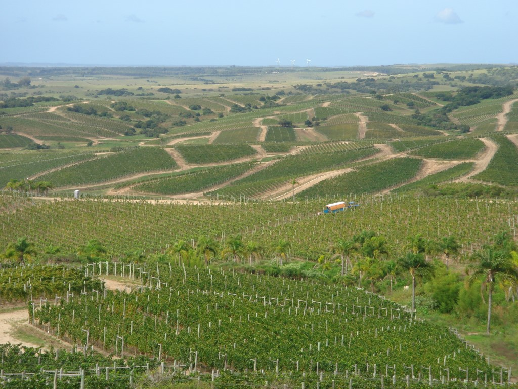 Viñas (Medium)