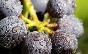 Trauben Reben Wein