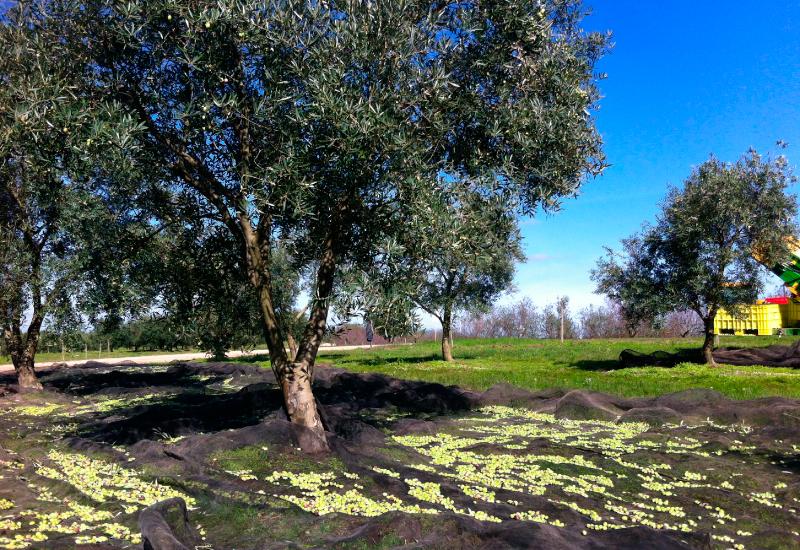colinas de garzón- cosecha-2