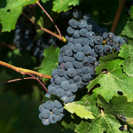 polifenoles vino