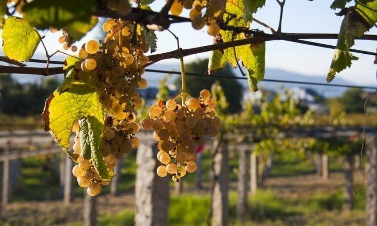 Los mejores vinos del mundo: el Albariño de Uruguay