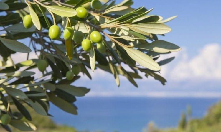 Historia del aceite de oliva: los orígenes