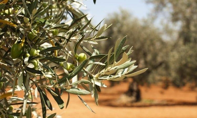 Uruguay: cinco datos sobre nuestra producción de aceite de oliva