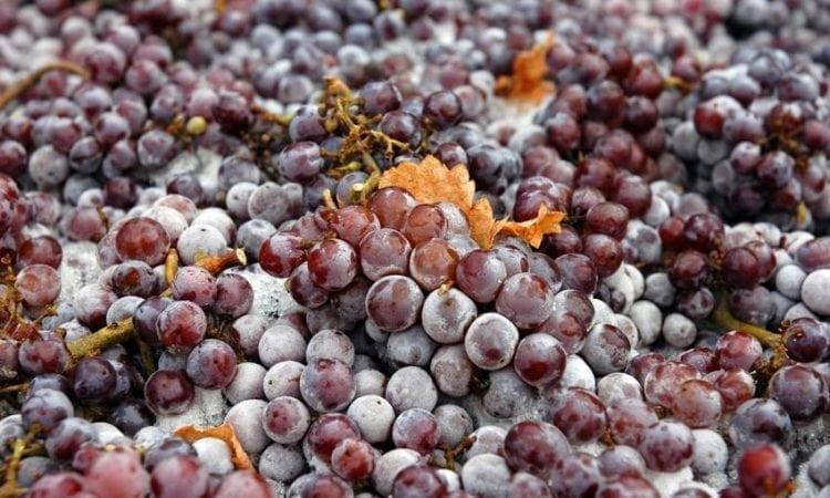 Pinot Grigio, descubre los secretos de esta cepa