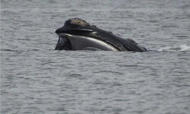 Comenzó una nueva temporada de ballenas