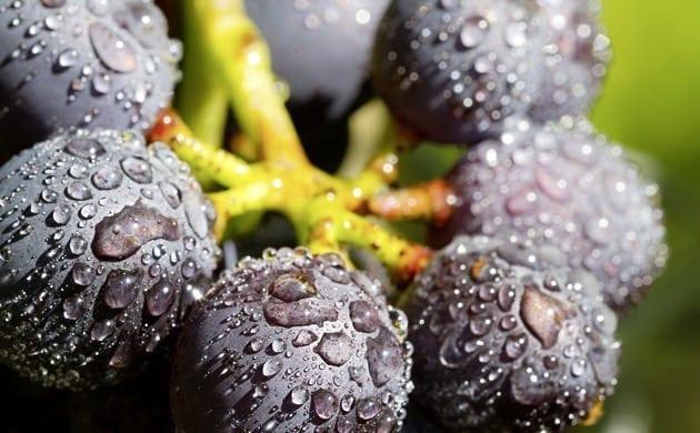Pinot Noir, un cepaje romántico y único