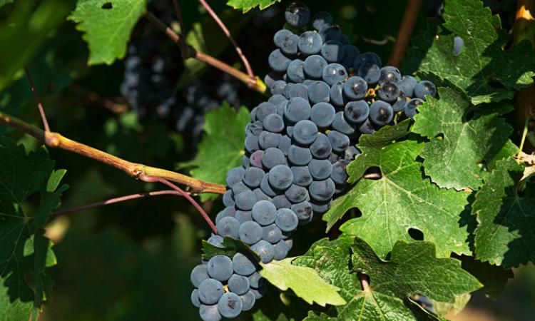Polifenoles del vino: qué son y para qué sirven