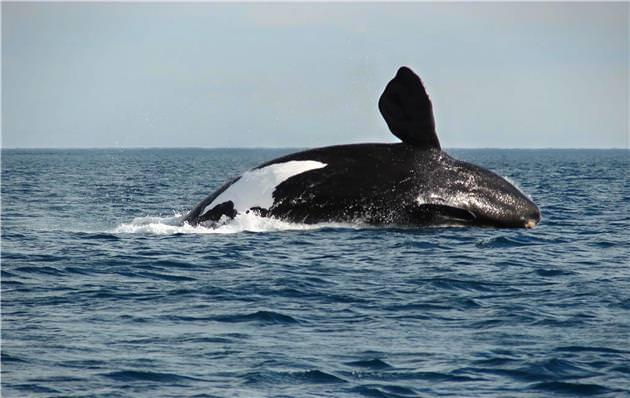 Avistamiento de la ballena franca austral