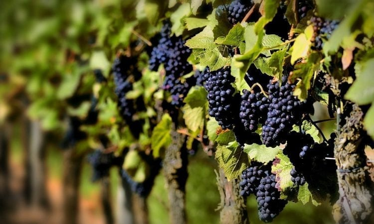 Grape harvest: a time to be enjoyed at Bodega Garzón